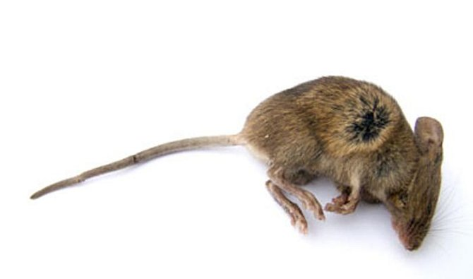 Mrtvé myši byly ve starověkém Egyptě součásti směsi pomáhající na bolavé zuby.