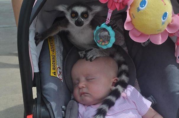 To se v zoo chvíli zapovídáte a dítěti sedí na hlavě lemur...