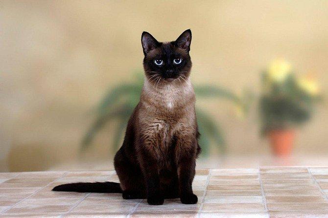 3. Siamská kočka