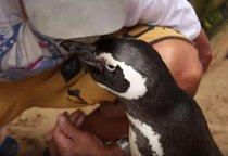 Po té zmizel neznámo kam. Za nějaký čas se ale vrátil a když ho Joao spatřil a zavolal na něj Din Din tedy jménem , které mu dal, tučňák se k němu radostně rozběhl a přivítal se s ním.
