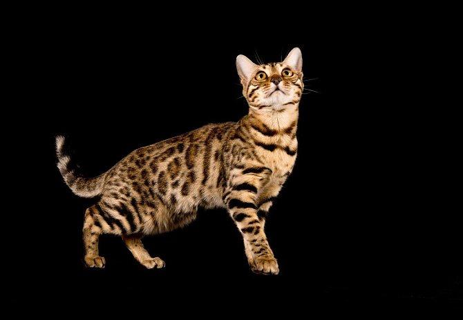 9. Kočka bengálská