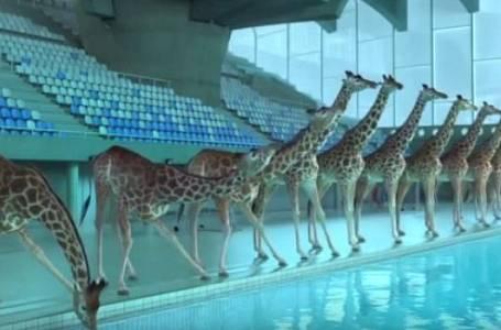 Nicolas Deveaux: Žirafy
