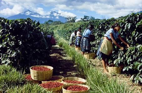Kouzlo pěstování kávy – Lahodný nápoj z rozmarného stromu