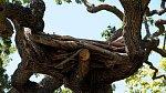 Na plošině v koruně stromu skládal Michael Jackson své největší hity.