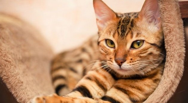 Kočka domácí mazlíček.