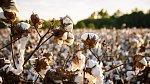 Pěstování bavlny
