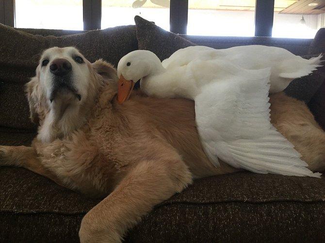 Kámoši jak hrom jsou Stevie (pes) a Gaga (husa).