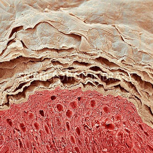 Každých zhruba 27 dní kompletně vyměníme vrchní vrstvu kůže, za život to dělá množství kůže o váze asi 20 kilogramů.