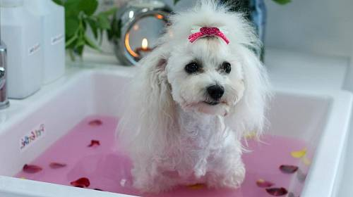 <p>Fenka bišonka Eliška si dopřává relax v růžích</p>