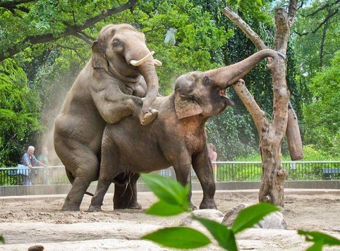Nejděsivnější tresty, které mohla žena dostat za zapovězenou lásku - ilustrační foto - sloní kopulace