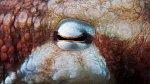 Tohle oko patří chobotnici.