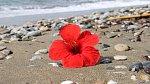 Překrásné keře Ibišků tu ve městech najdete téměř na každém kroku. Není tedy ničím divným, když půvabný květ přinese moře ...