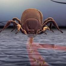 Pokud klíště neobjevíme, je schopno nasátou krví zvětšit několikrát svou velikost. Po dostatečném nasátí se klíště samo pouští.