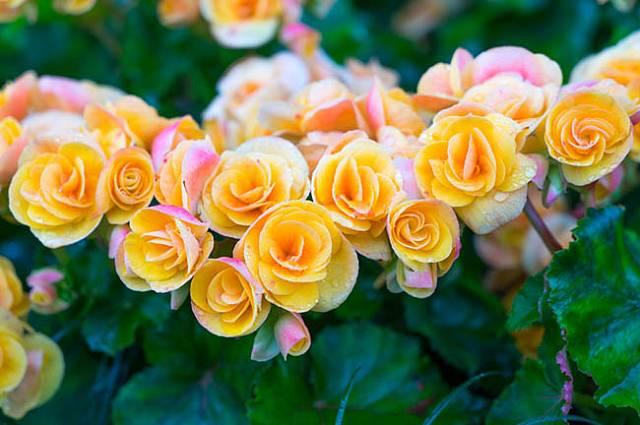 Krásně kvetoucí begonie bez úhony přezimují v koupelně.