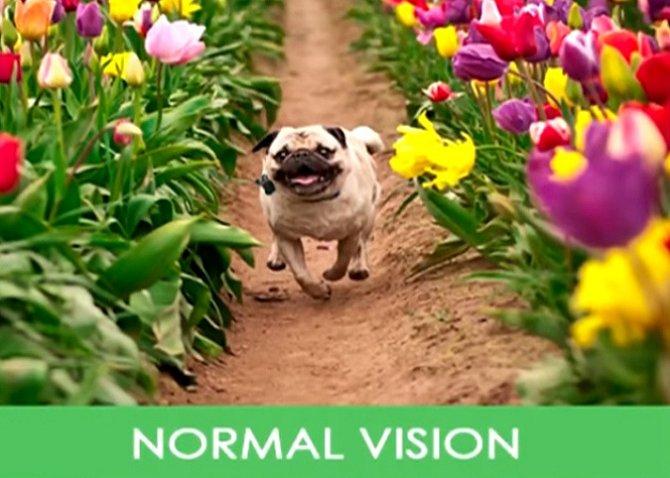 Pes při normálním vidění.