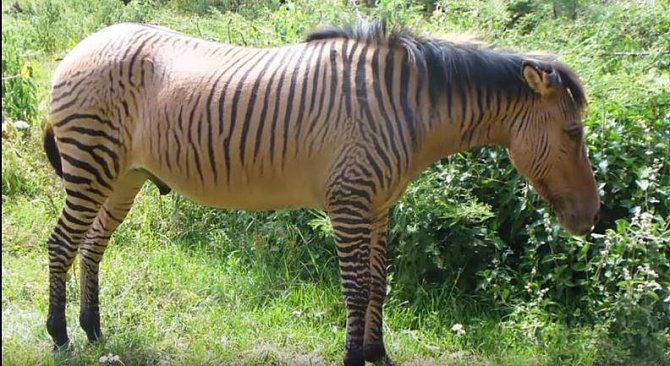 kůň/zebra