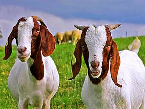 Burské kozy