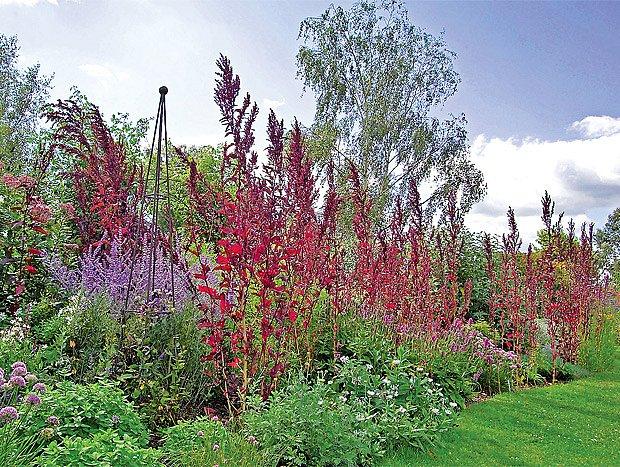 Impozantní červenolistá forma lebedy zahradní určitě zaujme na každém záhonu