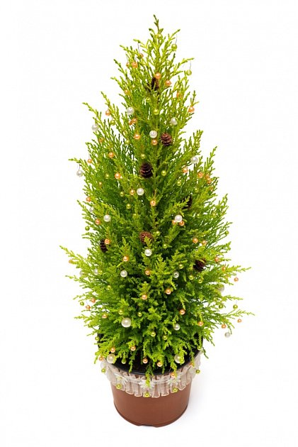 Ozdobený cypřišek (Cupressus macrocarpa)