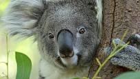 Voňavými listy eukalyptů se živý medvídek koala