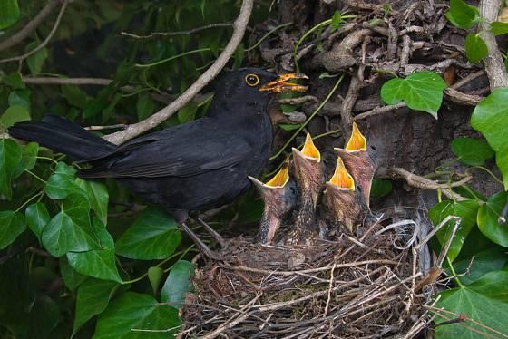 Kos ukryl hnízdo v porostu břečťanu