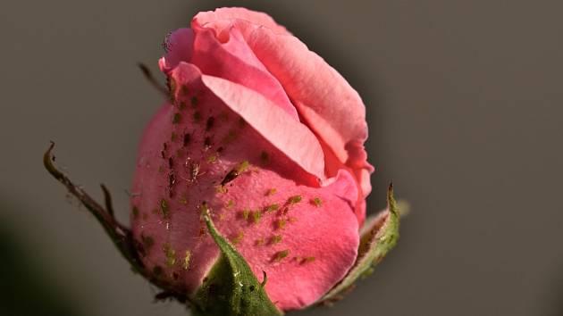 mšice růže poupě