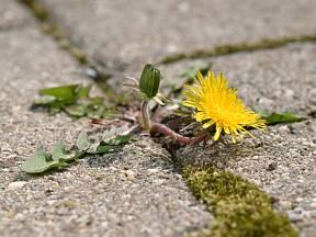 Stačilo drobné semínko a ve spáře chodníku teď kvete pampeliška.