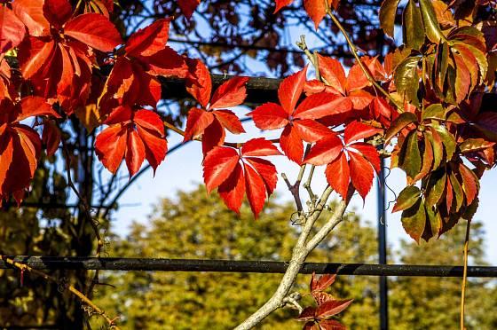 Parthenocissus quinquefolia dodá zahradě na podzim ohnivé zbarvení