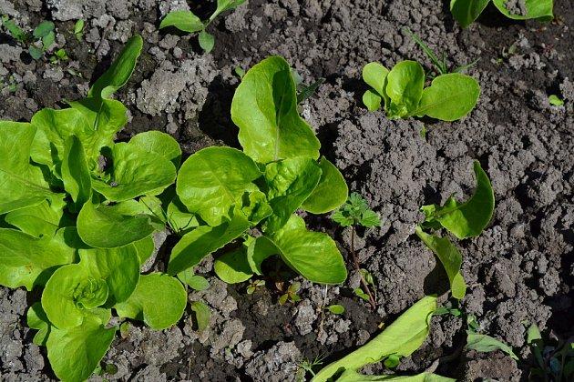 Ideální pro výsadbu v červenci je i zelený salát