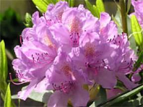 růžový rododendron