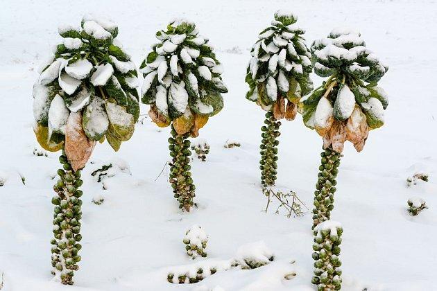Sníh otužilé růžičkové kapusty nevadí, na rozdíl od sucha a prudkých změn teplot