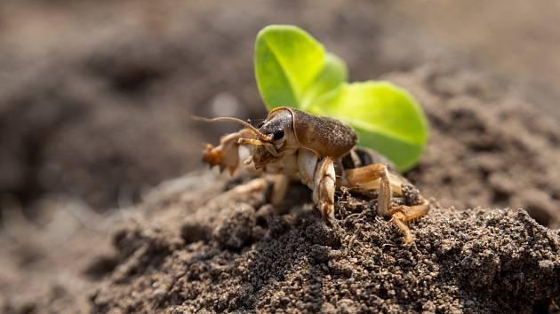 V záhoncích zahrad číhá na rostliny několik nebezpečí. Mezi ty zásadnější patří krtonožka