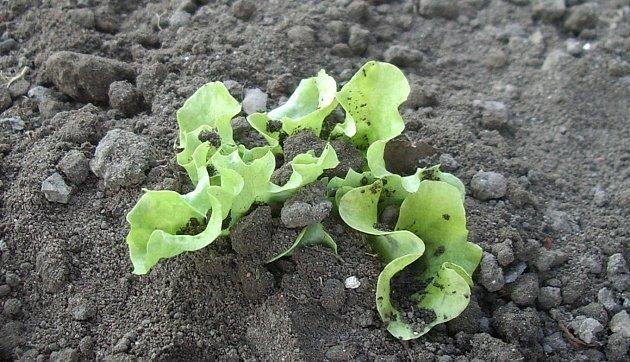 Příliš zahrnutá sazenice salátu