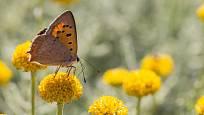 Květenství santolíny jsou hostinou pro motýly, zde ohniváček černokřídlý