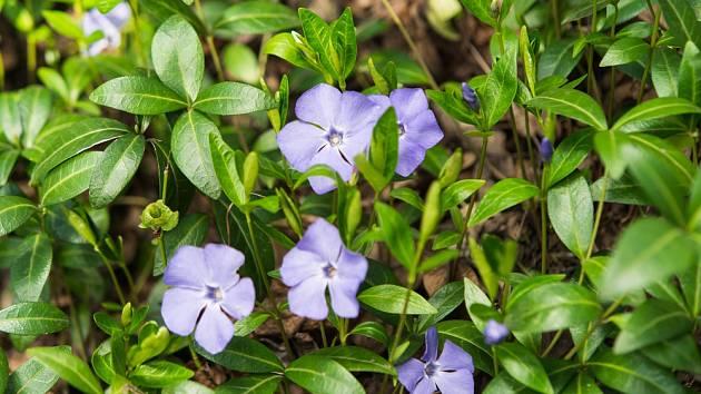 Barvínek menší (Vinca minor), známý jako brčál.