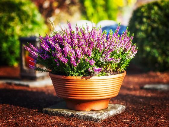 Vřesy a listopadky jsou typické hřbitovní rostliny