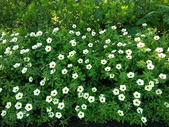 Ibišek trojdílný je považován za polní plevel.