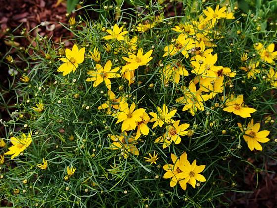 Krásnoočko přeslenité (Coreopsis verticillata)