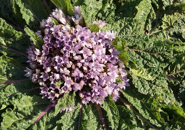 Kvetoucí mandragora neboli pokřín.