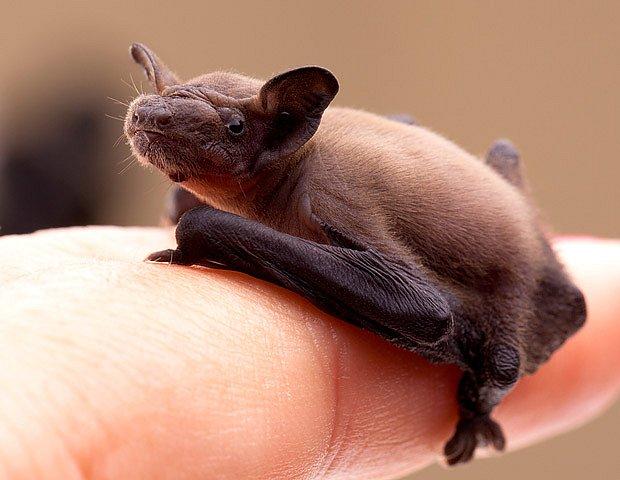 Mládě netopýra vypadlé z kolonie bez pomoci nepřežije