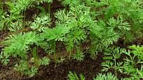 Příliš husté výsevy mrkve je třeba vyjednotit, aby měly kořeny místo k růstu