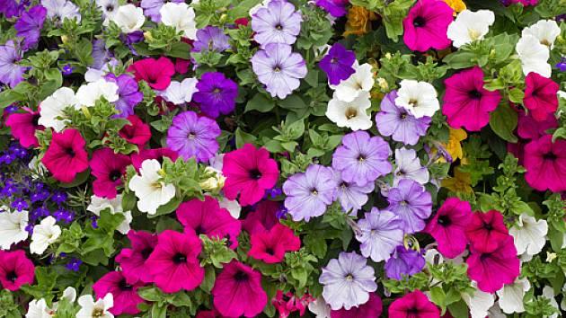 Kr sn pet nie ze semen vyp stovat sazeni ky je t for Algunas plantas ornamentales