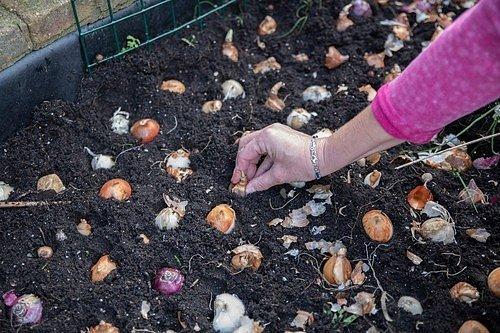 Právě podzim je naprosto ideální dobou, ve které lze zasadit cibuloviny.