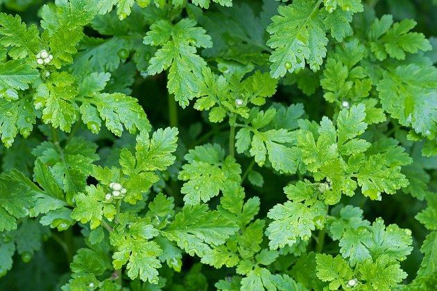 Listy řimbaby obecné (Tanacetum parthenium) pomohou zahnat migrénu.
