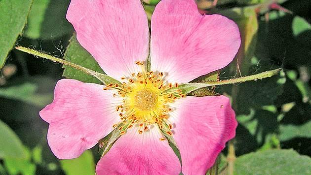 Růže měkká