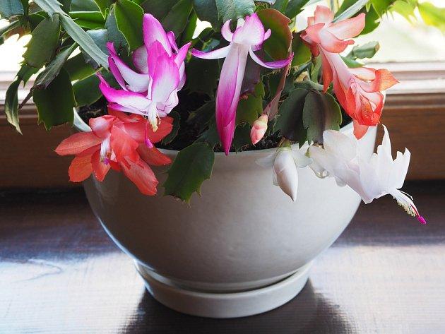 Vánoční kaktusy (Schlumbergera) se nabízejí v různých barvách květů..