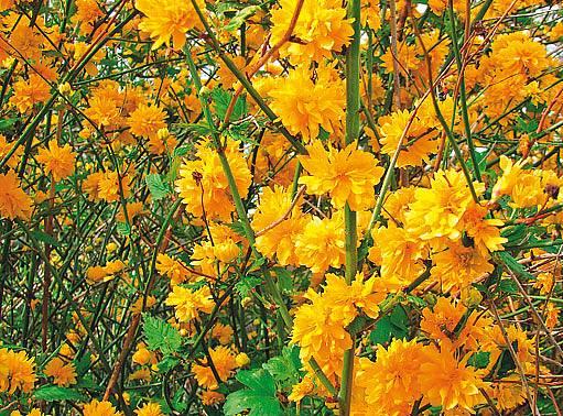 zákula japonská (Kerria japonica)