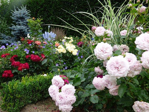 V popředí růže Rosenfaszination s trávou Miscanthus sin. Variegatus. Vlevo je ohraničení nízkým stříhaným plůtkem z buxusu