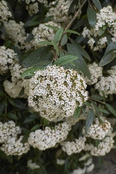 Bohatě kvetoucí kalina vrásčitolistá (Viburnum rhytidophyllum)