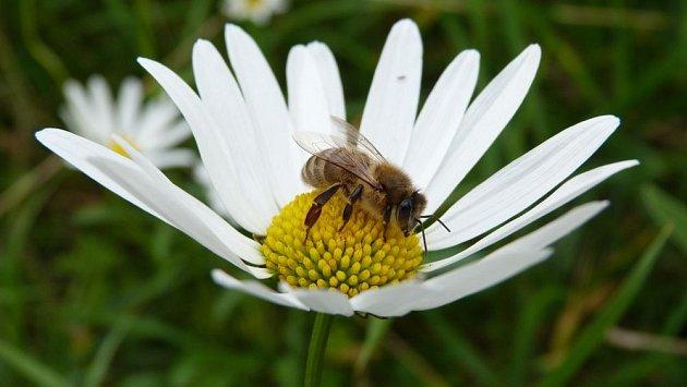 Kopretiny jsou prostřeným stolem pro včely, čmeláky a motýly